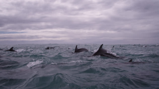 slomo dusky dolphin pod porpoising, new zealand - pod group of animals stock videos & royalty-free footage