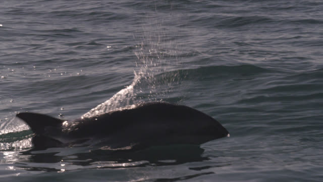 stockvideo's en b-roll-footage met slomo dusky dolphin porpoising, new zealand - cetacea