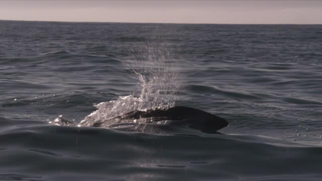 slomo dusky dolphin porpoising, new zealand - dusky dolphin stock videos & royalty-free footage
