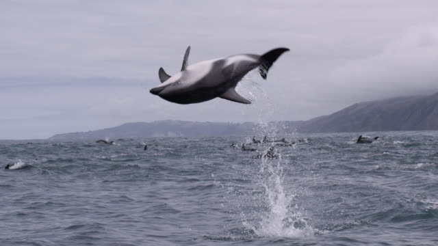 slomo dusky dolphin somersaults, new zealand - branco di mammiferi marini video stock e b–roll