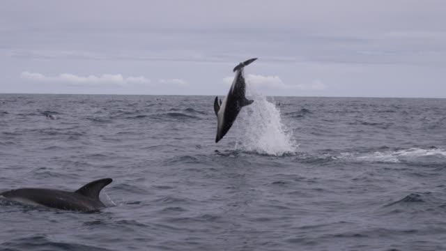 slomo dusky dolphin somersaults, new zealand - schwarzdelfin stock-videos und b-roll-filmmaterial