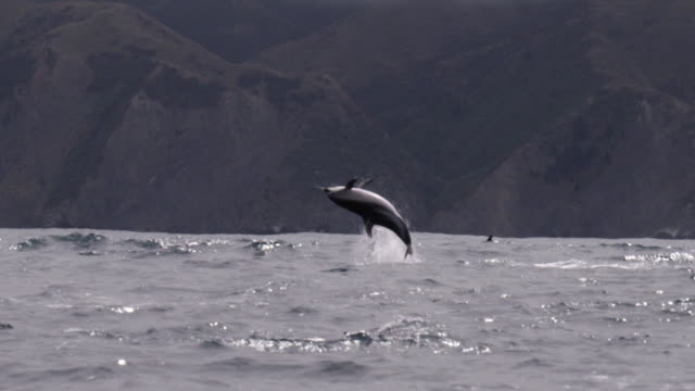 stockvideo's en b-roll-footage met slomo dusky dolphin somersaults, new zealand - cetacea