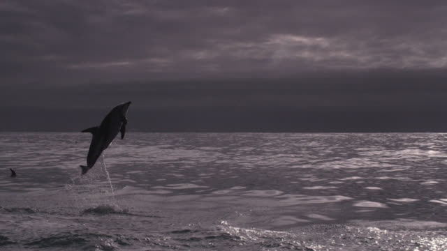 slomo dusky dolphin somersaults, new zealand - animals breaching stock videos & royalty-free footage