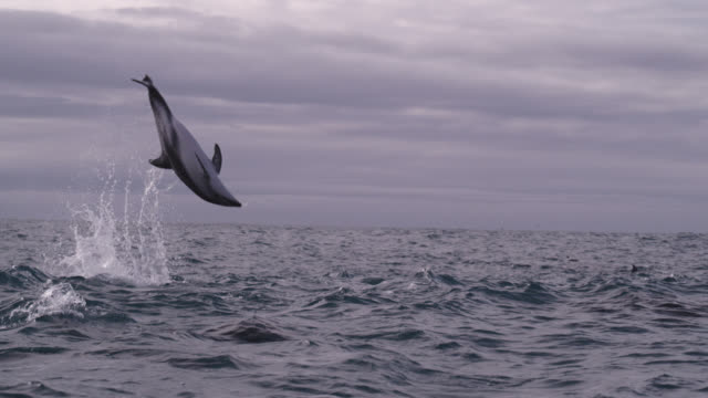 slomo dusky dolphin somersaults, new zealand - dolphin stock videos & royalty-free footage