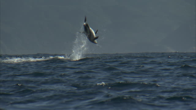 dusky dolphin (lagenorynchus obscurus) somersaults, new zealand - dusky dolphin stock videos & royalty-free footage