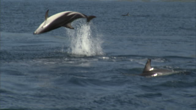 Dusky dolphin (Lagenorynchus obscurus) somersaults, New Zealand
