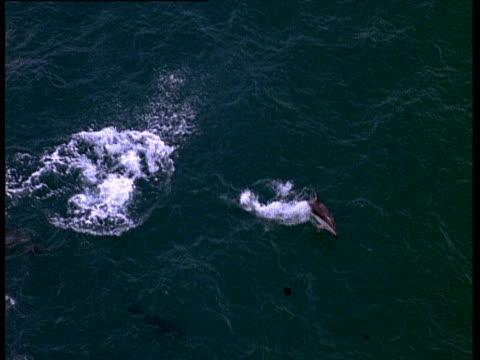 dusky dolphin spins at surface of ocean - schwarzdelfin stock-videos und b-roll-filmmaterial
