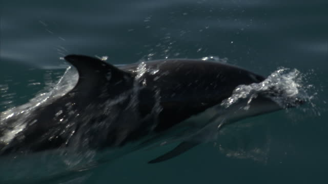 dusky dolphin (lagenorynchus obscurus) swims in ocean, new zealand - dusky dolphin stock videos & royalty-free footage