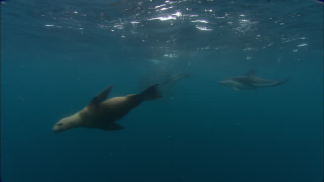 dusky dolphins (lagenorhynchus obscurus) and southern sealions (otaria flavescens) hunt anchovy (engraulidae) bait ball, patagonia, argentina - schwarzdelfin stock-videos und b-roll-filmmaterial