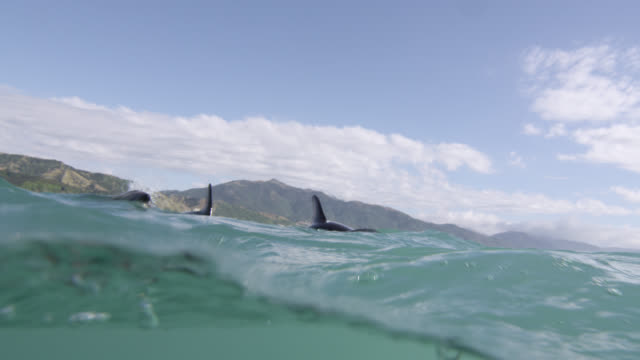 dusky dolphins at ocean surface, new zealand - on the move stock videos & royalty-free footage