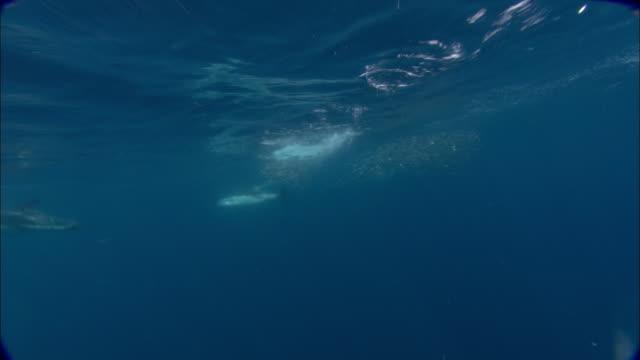 dusky dolphins (lagenorhynchus obscurus) hunt anchovy (engraulidae) bait ball, patagonia, argentina - schwarzdelfin stock-videos und b-roll-filmmaterial