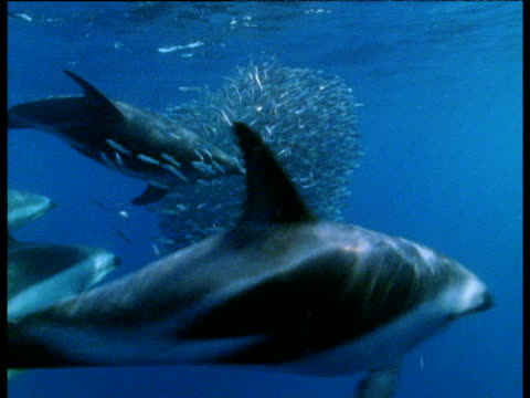 Dusky dolphins hunt huge shoal of anchovies and blow bubbles