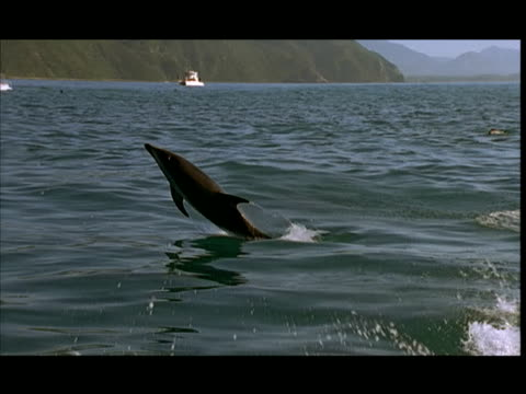 slo mo, dusky dolphins jumping in water, pacific ocean, new zealand - cetacea stock videos & royalty-free footage