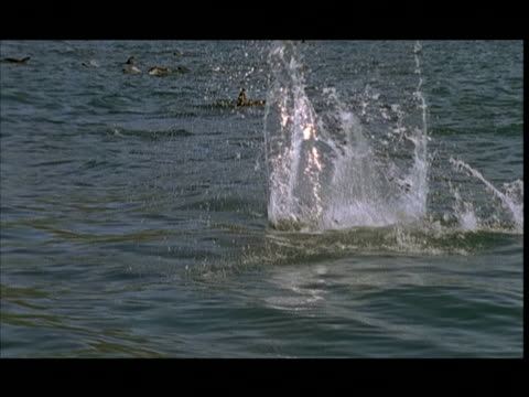 slo mo, dusky dolphins jumping in water, pacific ocean, new zealand - schwarzdelfin stock-videos und b-roll-filmmaterial