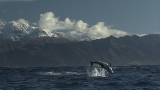 dusky dolphins (lagenorynchus obscurus) leap and splash, new zealand - cetaceo video stock e b–roll