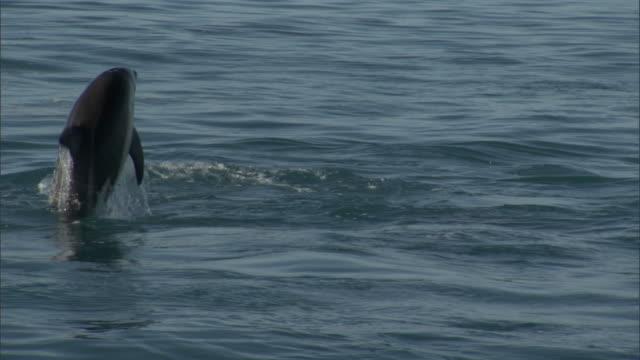 dusky dolphins (lagenorynchus obscurus) leap and splash, new zealand - schwarzdelfin stock-videos und b-roll-filmmaterial