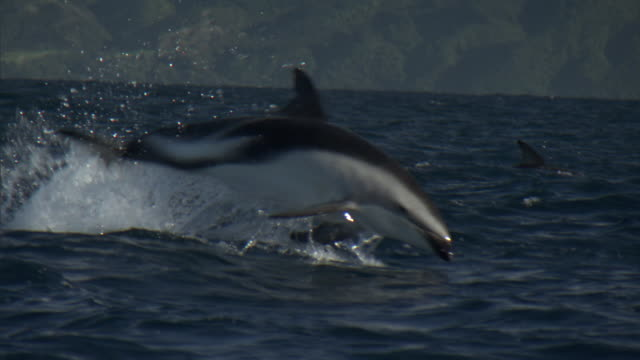 dusky dolphins (lagenorynchus obscurus) leap and splash, new zealand - dolphin stock videos & royalty-free footage