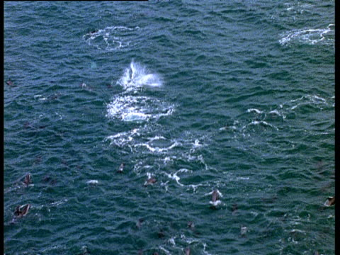dusky dolphins leap out of water - schwarzdelfin stock-videos und b-roll-filmmaterial