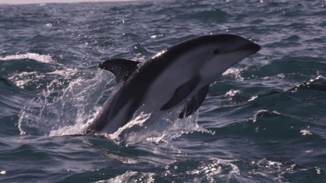 slomo dusky dolphins leap with a splash, new zealand - schwarzdelfin stock-videos und b-roll-filmmaterial