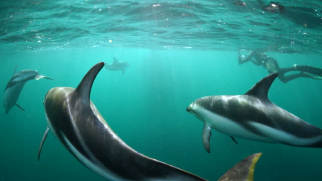 dusky dolphins playing in front of the camera as a mating group of three southern right whales appears in the background, nuevo gulf, valdes peninsula, argentina. - dusky dolphin stock videos & royalty-free footage