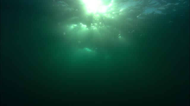 dusky dolphins (lagenorhynchus obscurus) silhouetted against sun, patagonia, argentina - schwarzdelfin stock-videos und b-roll-filmmaterial