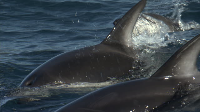 Dusky dolphins (Lagenorynchus obscurus) surface, New Zealand
