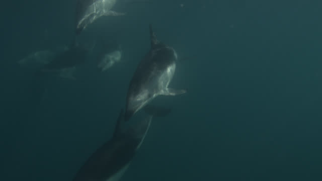 stockvideo's en b-roll-footage met dusky dolphins swim at surface of sea, new zealand - dusky dolphin