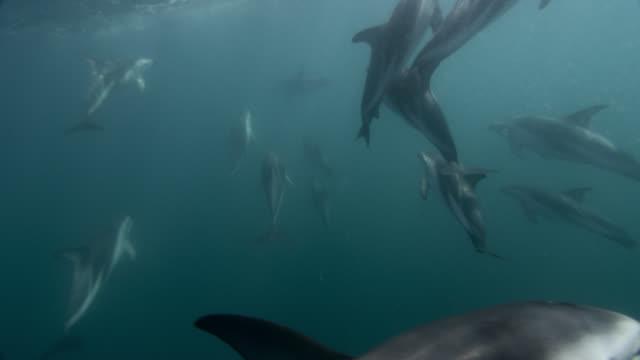 dusky dolphins swim in blue ocean, new zealand - schwarzdelfin stock-videos und b-roll-filmmaterial