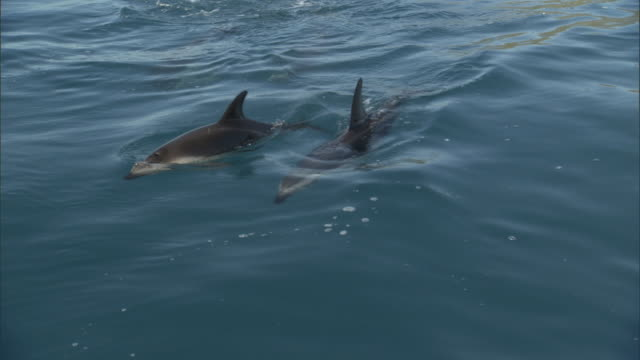 dusky dolphins (lagenorynchus obscurus) swim in ocean, new zealand - cetaceo video stock e b–roll