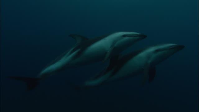 dusky dolphins (lagenorhynchus obscurus) swim in ocean, patagonia, argentina - cetacea stock videos & royalty-free footage