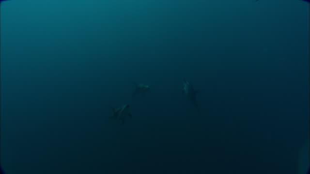dusky dolphins (lagenorhynchus obscurus) swim in ocean, patagonia, argentina - schwarzdelfin stock-videos und b-roll-filmmaterial