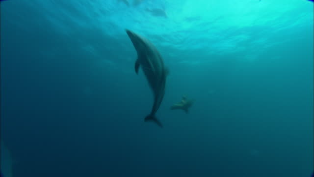 dusky dolphins (lagenorhynchus obscurus) swim in ocean, patagonia, argentina - dusky dolphin stock videos & royalty-free footage