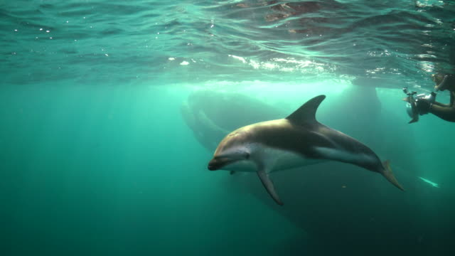 dusky dolphins trying to get the attention of the camera operator as a group of southern right whales is mating in the background, nuevo gulf, valdes peninsula, argentina. - dusky dolphin stock videos & royalty-free footage