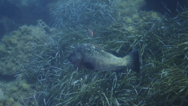 vídeos de stock e filmes b-roll de dusky grouper (epinephelus marginatus) - erva marinha