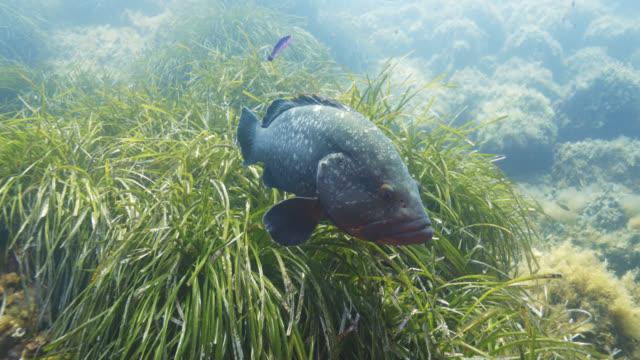 vidéos et rushes de dusky grouper (epinephelus marginatus) - vincent pommeyrol