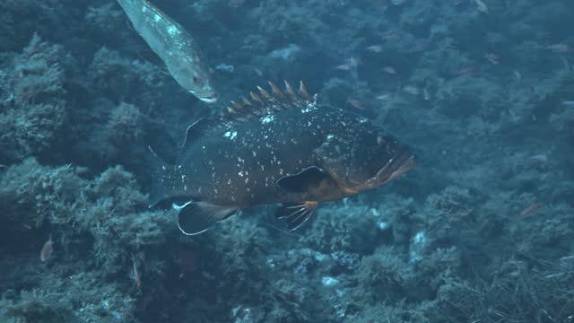 vídeos y material grabado en eventos de stock de dusky grouper-epinephelus marginatus - the nature conservancy