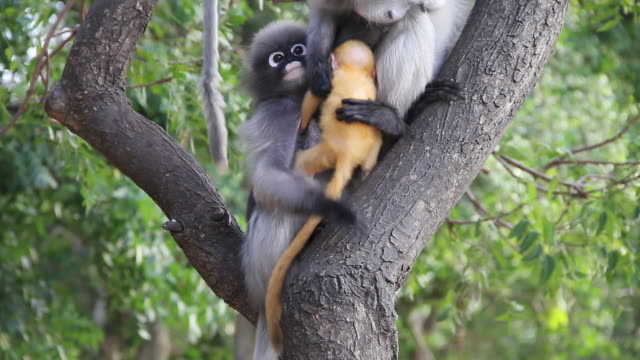 dusky leaf monkey and baby. - monkey stock videos and b-roll footage