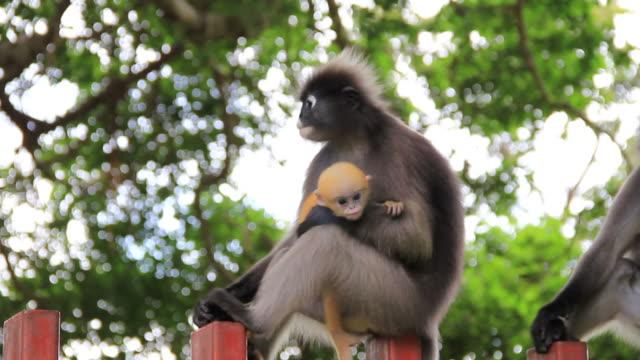 dusky leaf monkey and baby - liten djurflock bildbanksvideor och videomaterial från bakom kulisserna