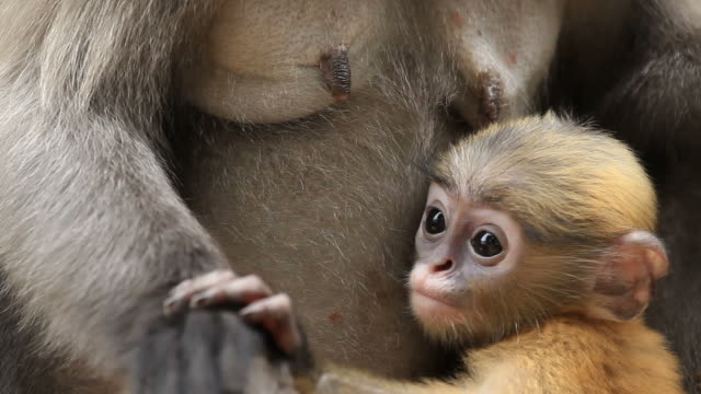 dusky leaf monkey breast-feeding - monkey stock videos & royalty-free footage
