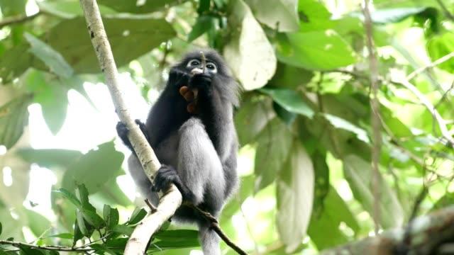 dusky blad apa, smutsvitt langur, skarvar langur. - utrotningshotade arter bildbanksvideor och videomaterial från bakom kulisserna