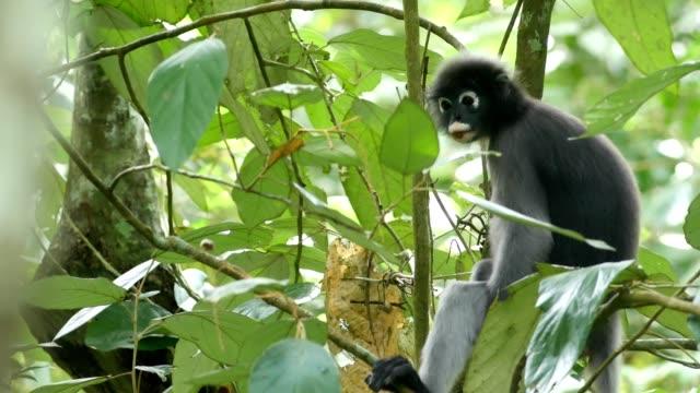dusky leaf monkey, dusky langur, spectacled langur. - tropical tree stock videos and b-roll footage