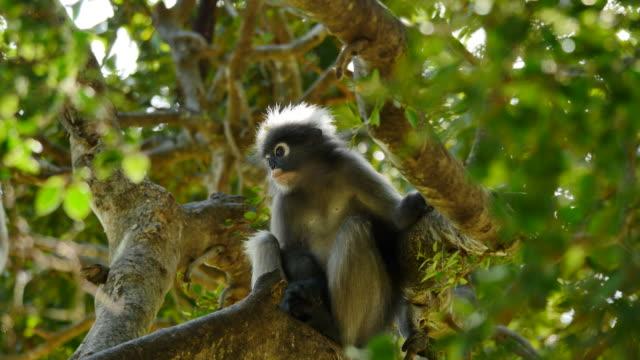 Dusky Leaf Monkey on tree.