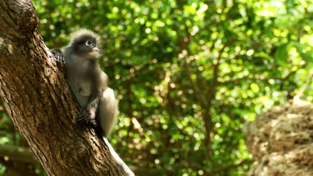 dusky leaf monkey on tree. - primate stock videos and b-roll footage