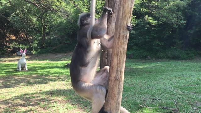 vídeos y material grabado en eventos de stock de dusky leaf monkey o trachypithecus obscurus sentados en la rama - tanga