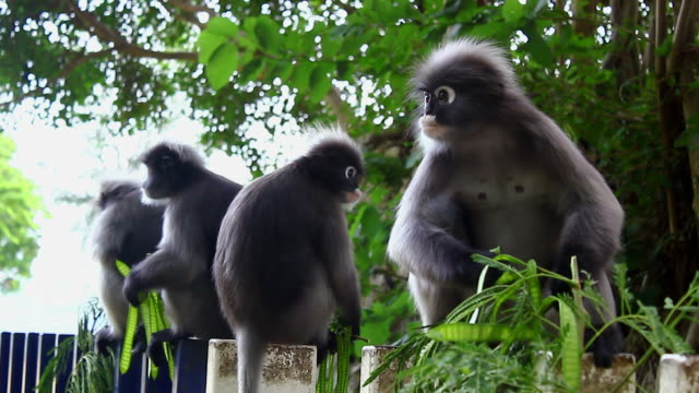 dusky leaf monkey - four animals stock videos & royalty-free footage