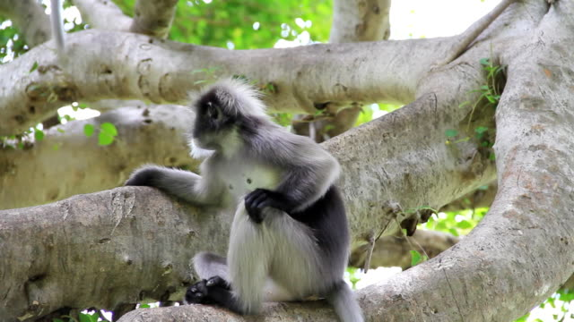 dusky leaf monkey - tropical tree stock videos and b-roll footage