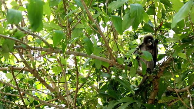 vídeos y material grabado en eventos de stock de dusky mono de hoja - tanga