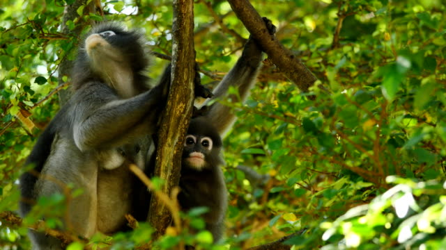 dusky leaf monkey with it's cub on tree. - perpetual motion stock videos & royalty-free footage