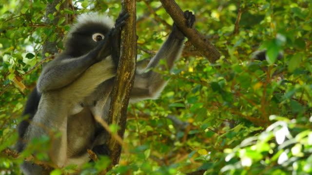 Altrosa Leaf Affen mit der Cub auf Baum.