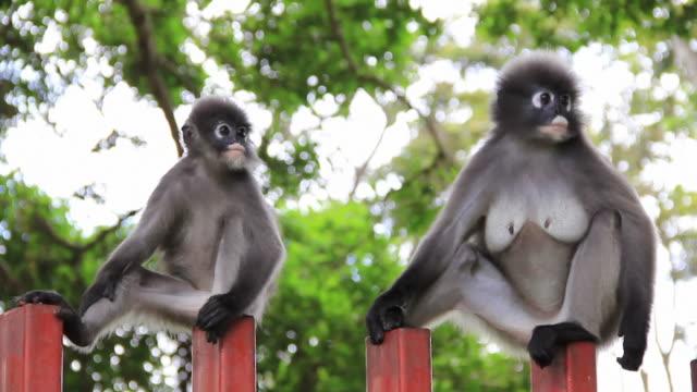 vídeos de stock e filmes b-roll de macacos de-do-crepúsculo - árvore tropical